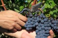 Winobranie praca w Anglii bez języka od zaraz przy zbiorach winogron Luton
