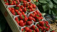 Od zaraz zbiory owoców oferta pracy w Norwegii bez znajomości języka Elverum