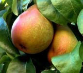 Oferta sezonowej pracy w Holandii przy zbiorach gruszek bez języka