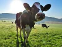 Fizyczna praca w Danii na fermie przy krowach bez języka wyspa Bornholm