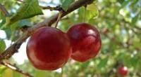 Dam pracę w Anglii przy zbiorach owoców bez znajomości języka Hereford
