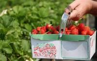 Zbiór malin, truskawek bez języka Praca w Wielkiej Brytanii od maja 2015