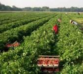 Anglia praca dla studentów przy zbiorach truskawek bez języka Ashford 2015