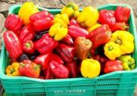 Praca w Holandii bez języka zbiory warzyw-papryki uprawianej w szklarni