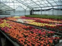 Holandia praca w ogrodnictwie przy kwiatach w szklarni bez języka Venlo
