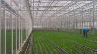 Praca Niemcy w Dreźnie dla grup przy zbiorach warzyw w szklarni bez języka