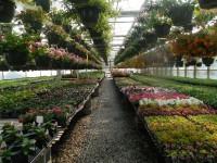 Holandia praca sezonowa przy kwiatach pracownik szklarni przy różach Haga