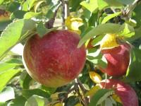 Sezonowa praca w Niemczech bez języka Budziszyn przy zbiorach jabłek z sadu