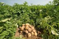 Praca w Anglii przy zbiorach ziemniaków bez znajomości języka od zaraz Swaffham