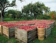 Dam pracę w Niemczech bez znajomości języka przy zbiorach jabłek od zaraz