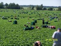 Praca Anglia w rolnictwie przy zbiorach owoców bez znajomości języka 2016