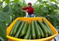 Bez języka sezonowa praca w Holandii przy zbiorach ogórków w szklarni Venlo