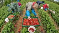 Dam sezonową pracę w Niemczech przy zbiorach owoców bez języka Deindrup