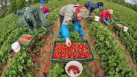 Sezonowa praca w Niemczech przy zbiorach truskawek bez języka Leverkusen