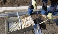 Niemcy praca sezonowa bez znajomości języka przy zbiorach szparagów Bawaria