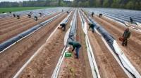 Niemcy praca sezonowa bez języka przy zbiorach szparagów od zaraz Sharringhausen