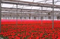 Dam pracę w Holandii od zaraz w ogrodnictwie przy kwiatach bez języka Haga