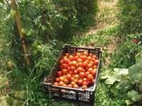 Dam sezonową pracę w Holandii zbiory pomidora bez języka od zaraz Haga