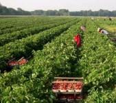 Oferta pracy w Anglii od zaraz rolnictwo bez języka przy zbiorach owoców