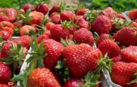 Sezonowa praca w Anglii przy zbiorach owoców bez znajomości języka 2017 Ledbury UK