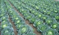 Od zaraz praca w Anglii przy zbiorach warzyw bez znajomości języka Boston