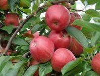 Zbiory jabłek oferta sezonowej pracy we Francji od zaraz, Limousin 2019