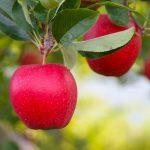 Bez znajomości języka Anglia praca sezonowa przy zbiorach jabłek od zaraz w Salisbury